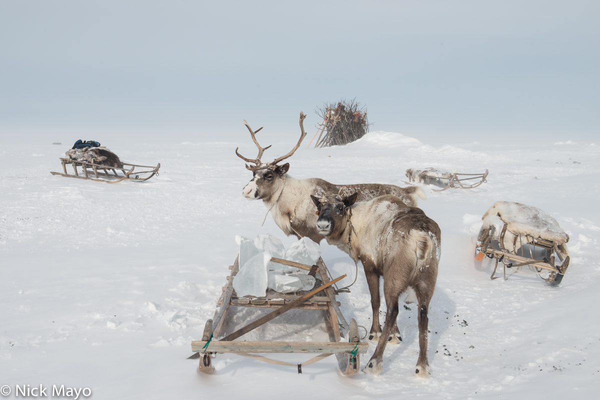 Reindeer,Russia,Sledge,Yamalo-Nenets, photo