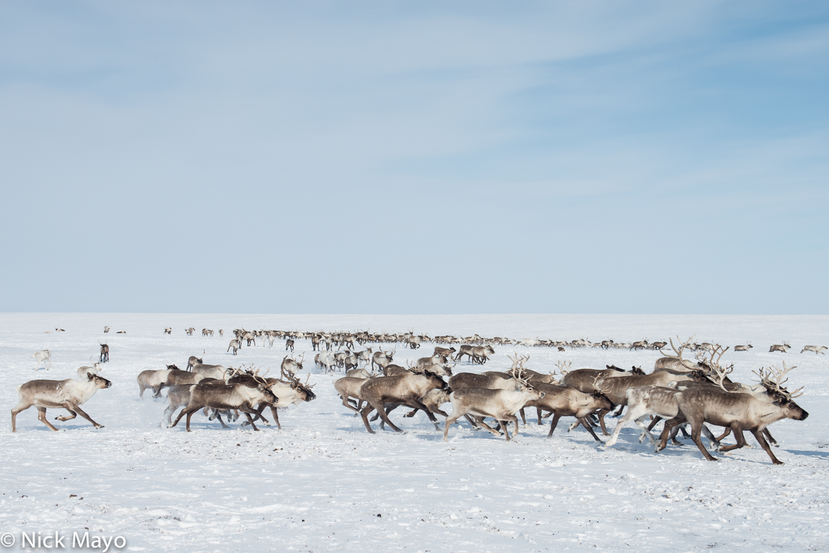 Reindeer,Russia,Yamalo-Nenets, photo