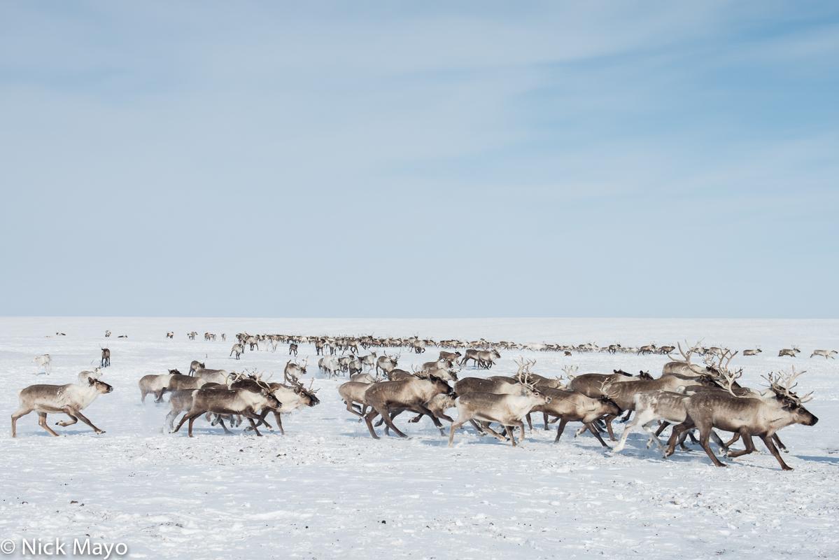 Reindeer,Russia,Yamalo-Nenets, photo