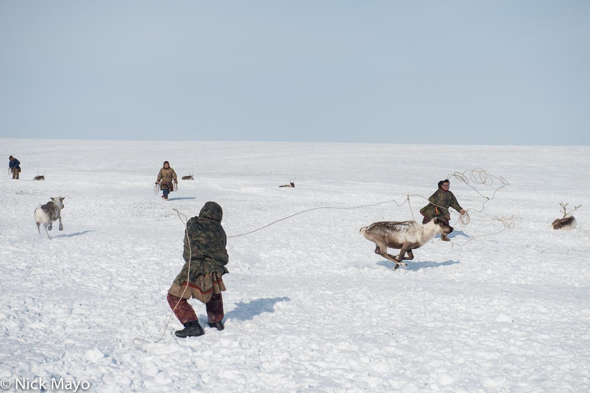Lassoing,Nenets,Reindeer,Russia,Yamalo-Nenets, photo