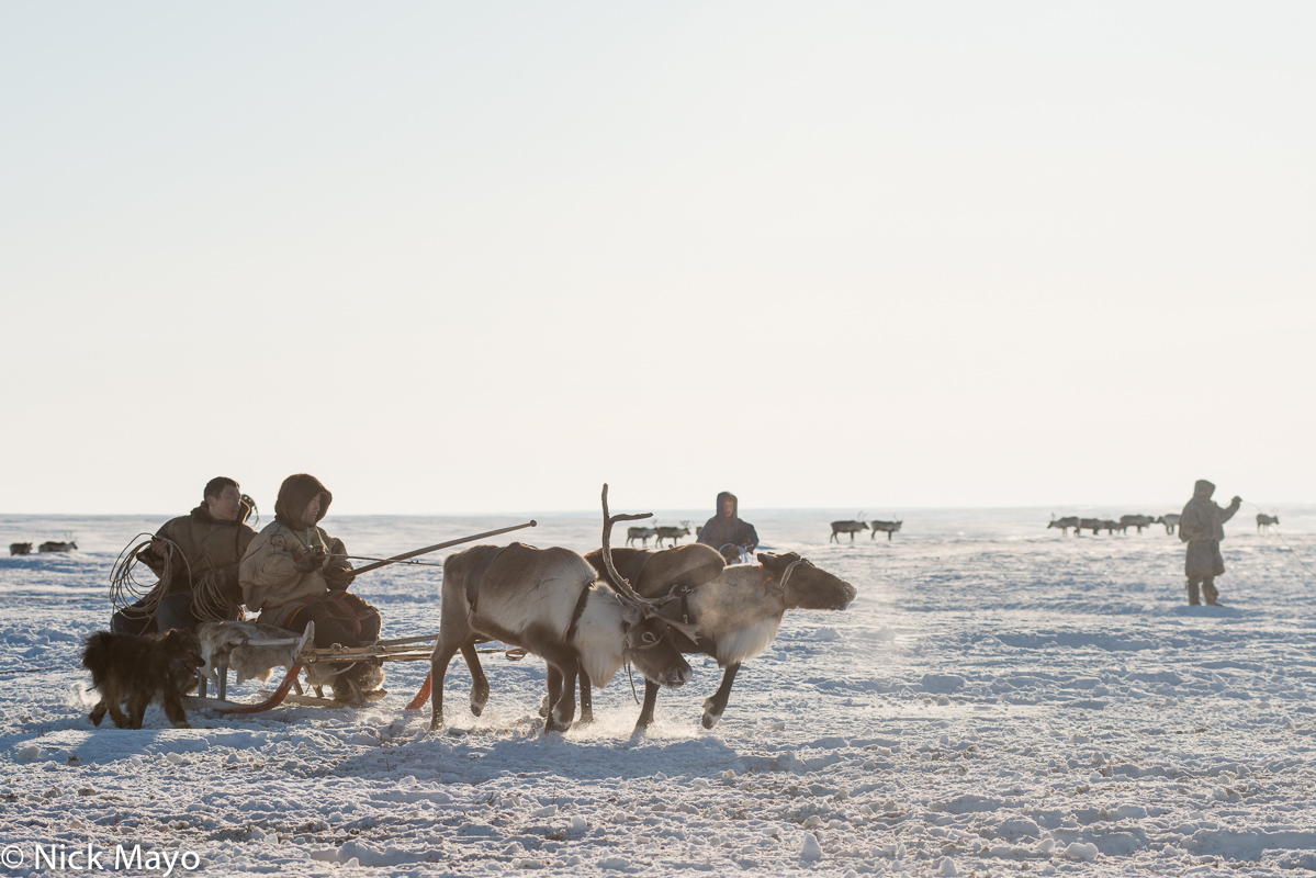 Dog,Nenets,Reindeer,Russia,Sledge,Yamalo-Nenets, photo