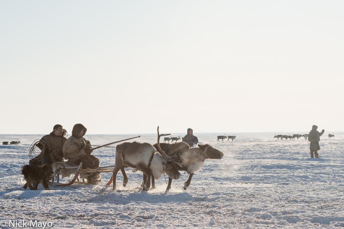 Dog,Malitsa,Nenets,Reindeer,Russia,Sledge,Yamalo-Nenets, photo
