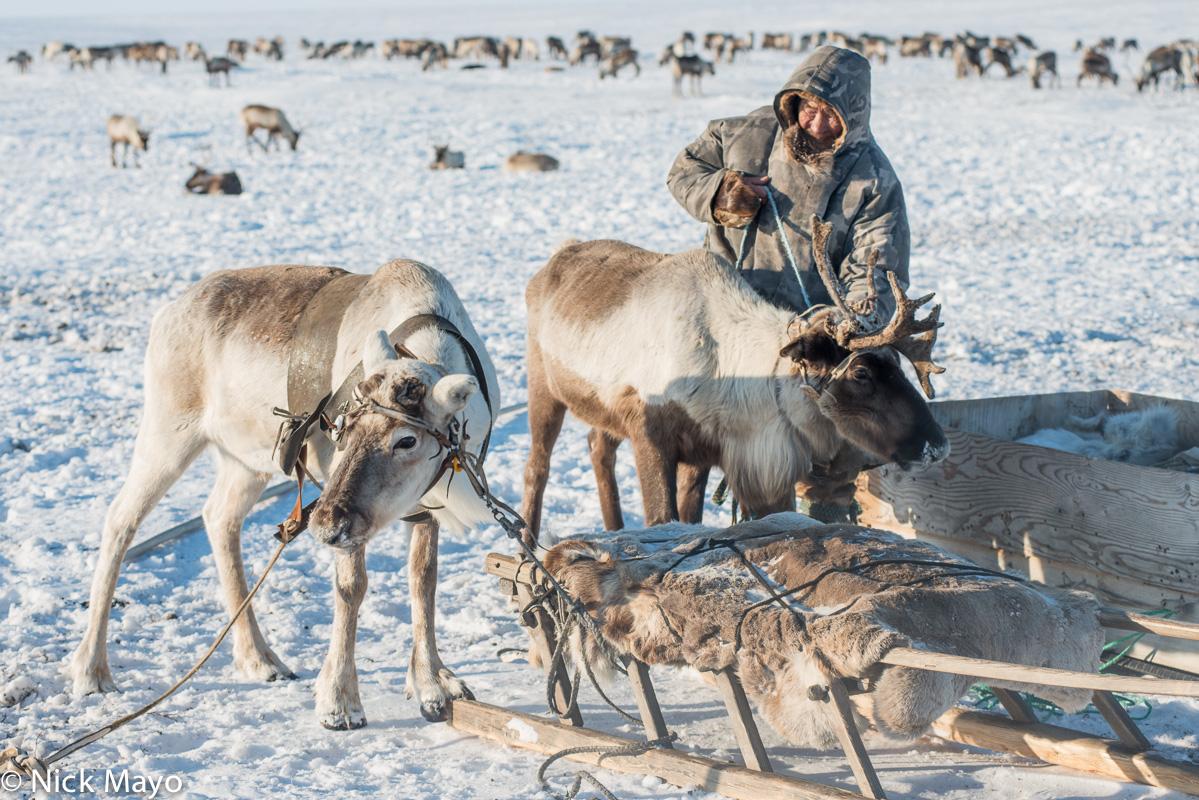 Malitsa,Nenets,Reindeer,Russia,Sledge,Yamalo-Nenets, photo