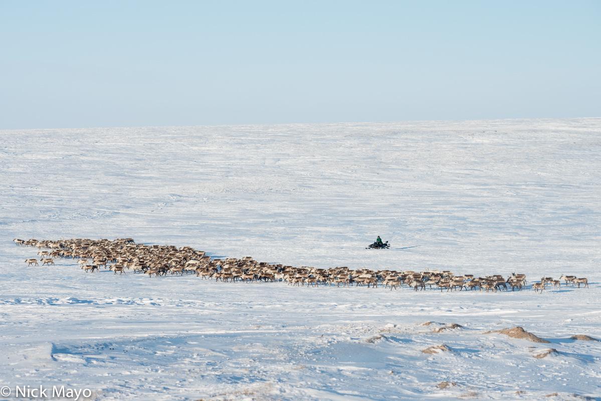 Herding,Nenets,Reindeer,Russia,Snowmobile,Yamalo-Nenets, photo