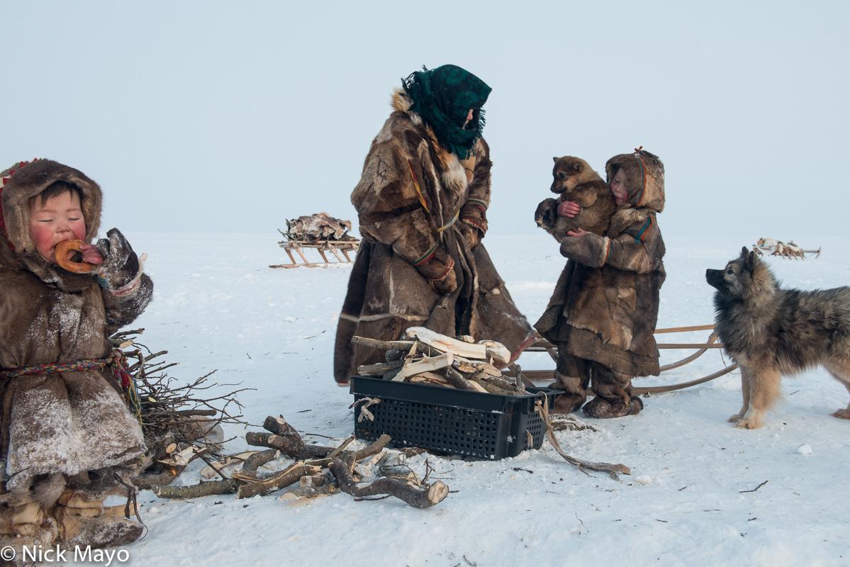 Dog,Firewood,Kisy,Malitsa,Nenets,Russia,Yagushka,Yamalo-Nenets, photo