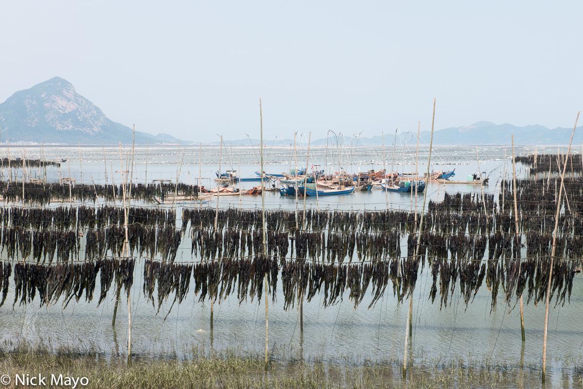 Kelp drying on bamboo poles near Weijiang.