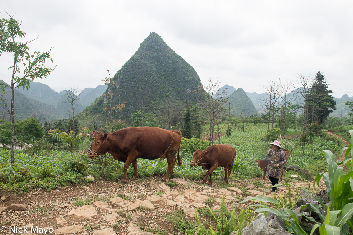 China,Corn,Cow,Guangxi,Zhuang, photo