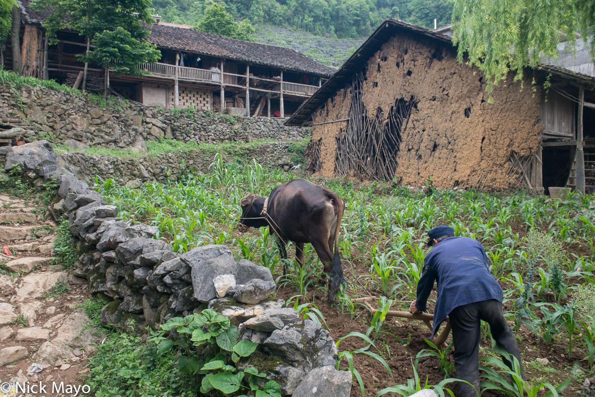 China,Corn,Guangxi,Ox,Plough,Ploughing,Village,Zhuang, photo