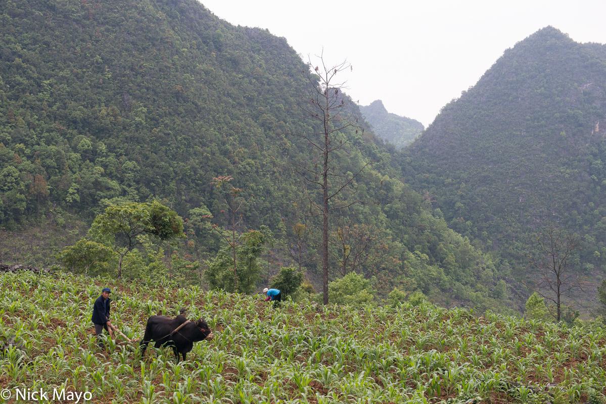 China,Corn,Guangxi,Ox,Plough,Ploughing,Zhuang, photo