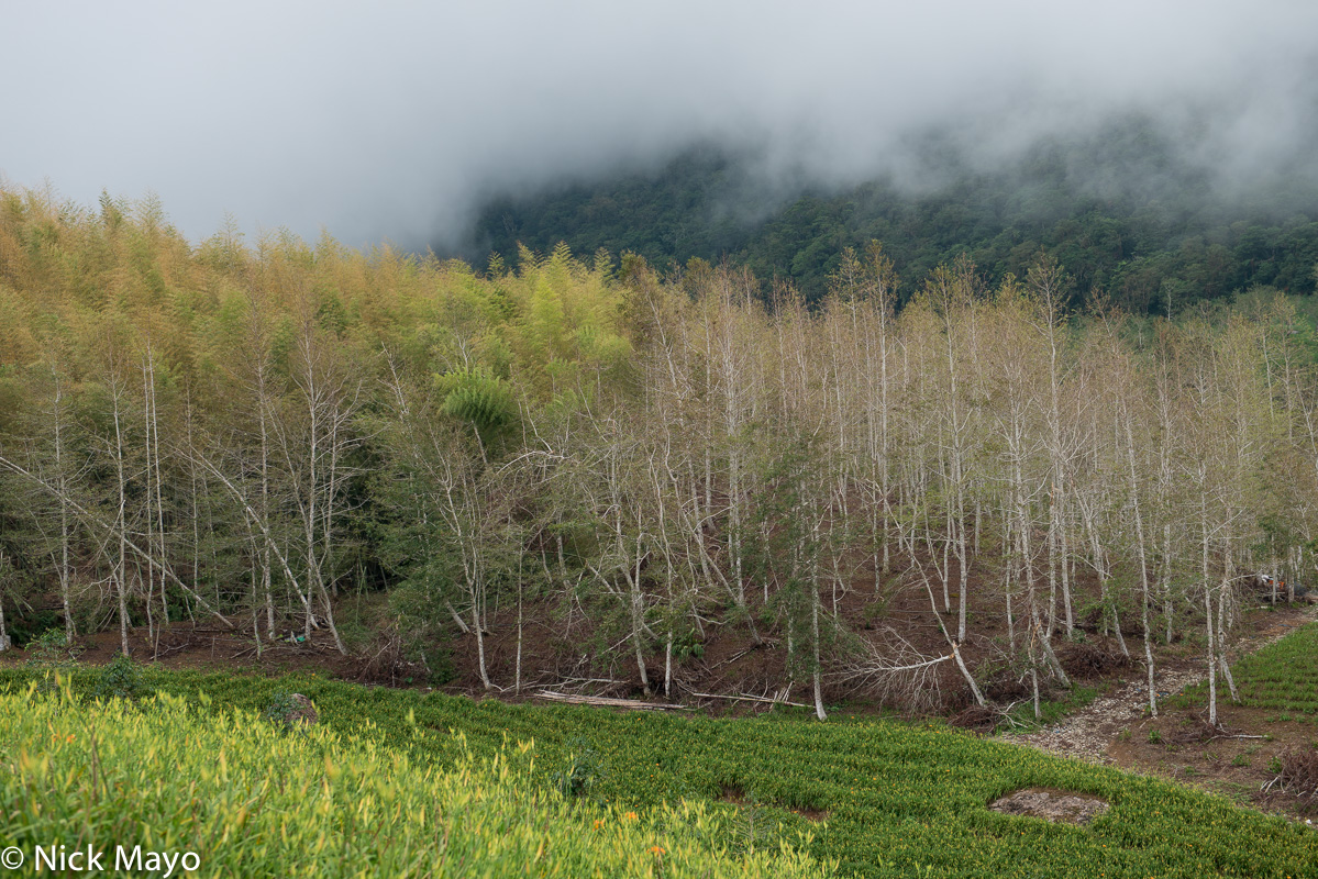 The forest behind the daylily fields at Chikeshan in Hualien County.