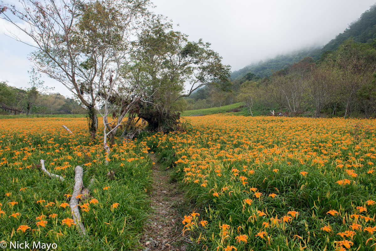 Daylily,East Coast,Taiwan, photo