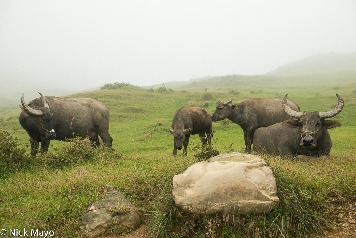 North,Taiwan,Water Buffalo, photo