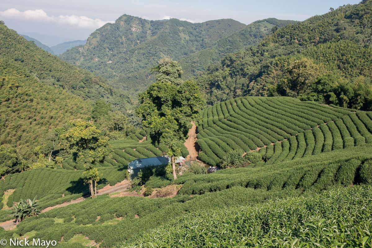 Terraced tea fields at Ba Gua tea garden in Nantou County.