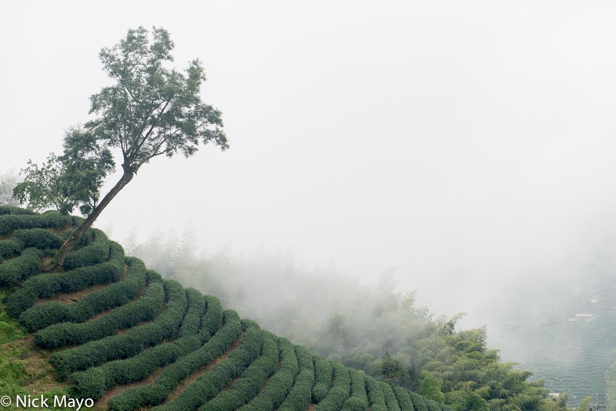 Central Mountains,Taiwan,Tea Field, photo