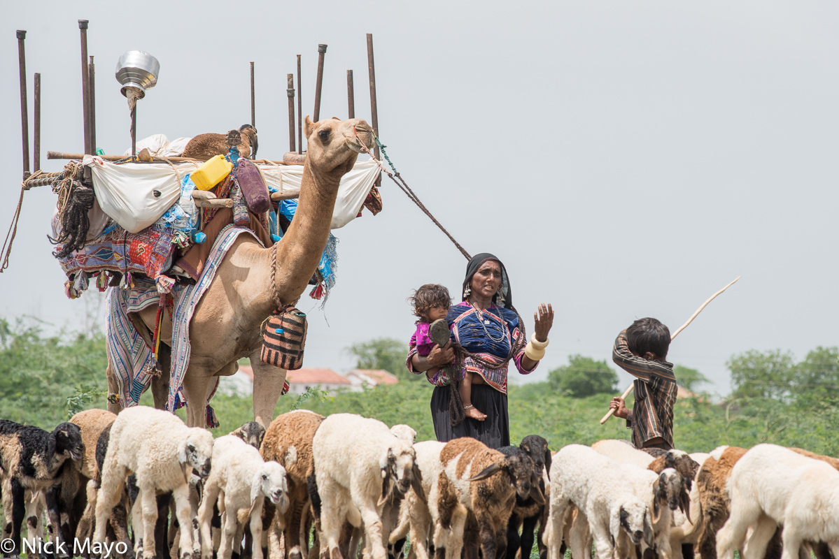 Camel,Earring,Gujarat,Herding,India,Pack Animal,Rabari,Sheep, photo
