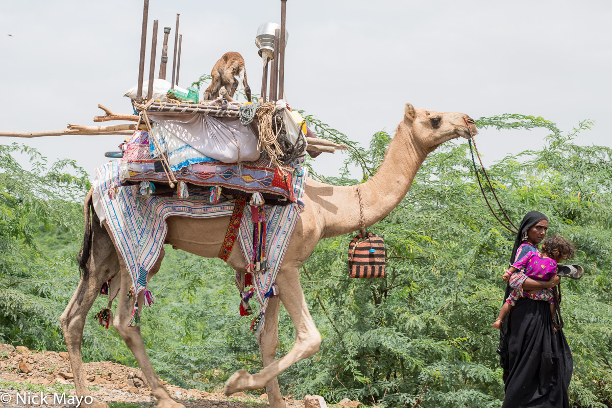 Camel,Earring,Gujarat,Head Scarf,India,Pack Animal,Rabari, photo