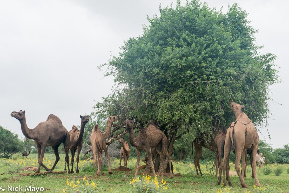 Camel,Gujarat,Herding,India, photo