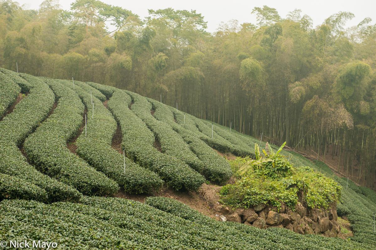 A tea field in the mountainous Da An district of Nantou County.