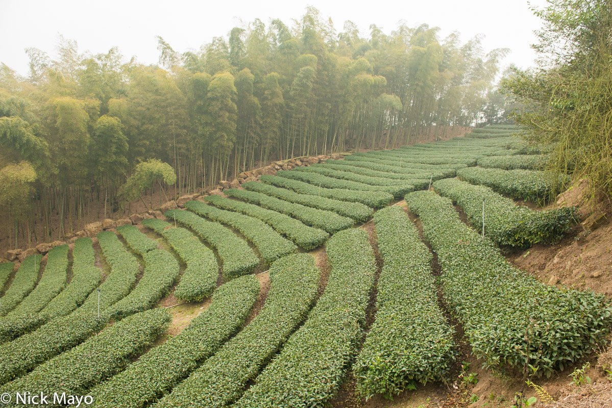 A tea field fringed by bamboo in the mountainous Da An district of Nantou County.