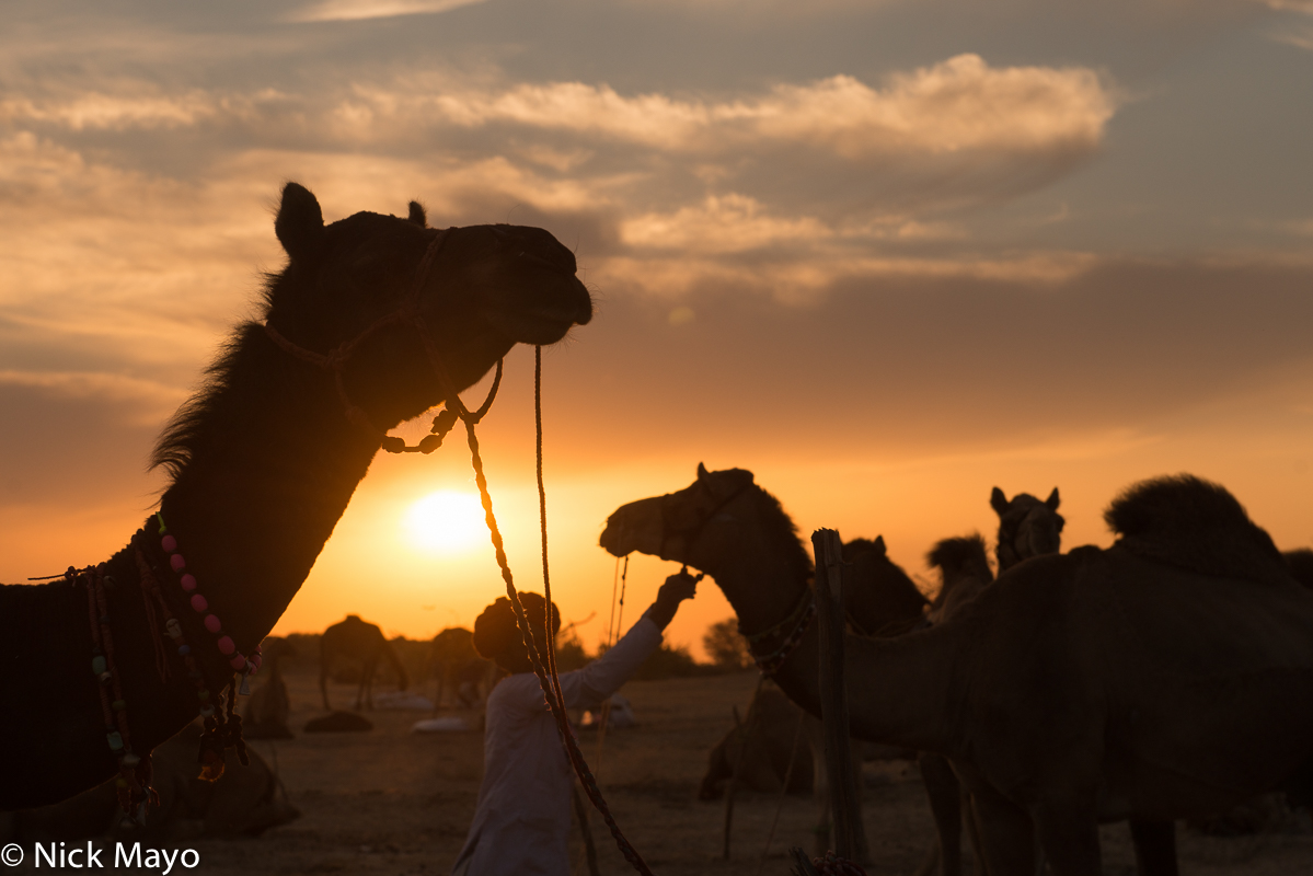 Camel,Festival,India,Rabari,Rajasthan, photo