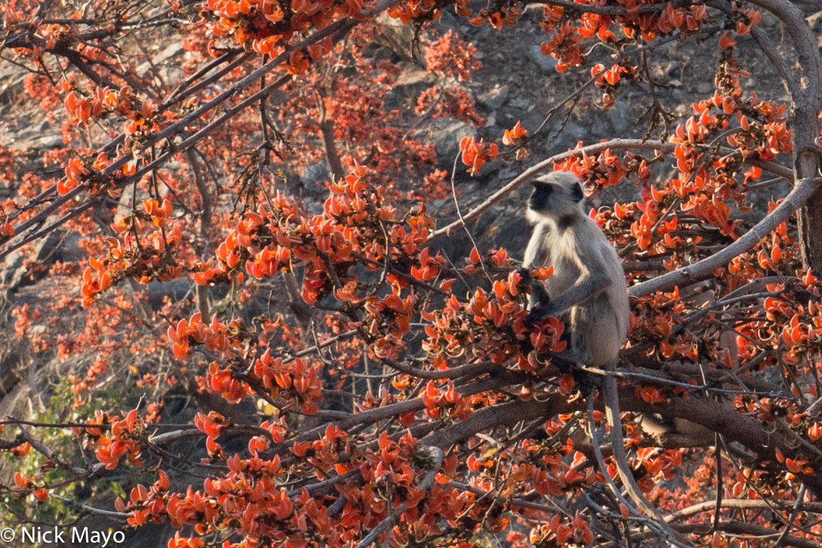 Gujarat,India,Monkey, photo
