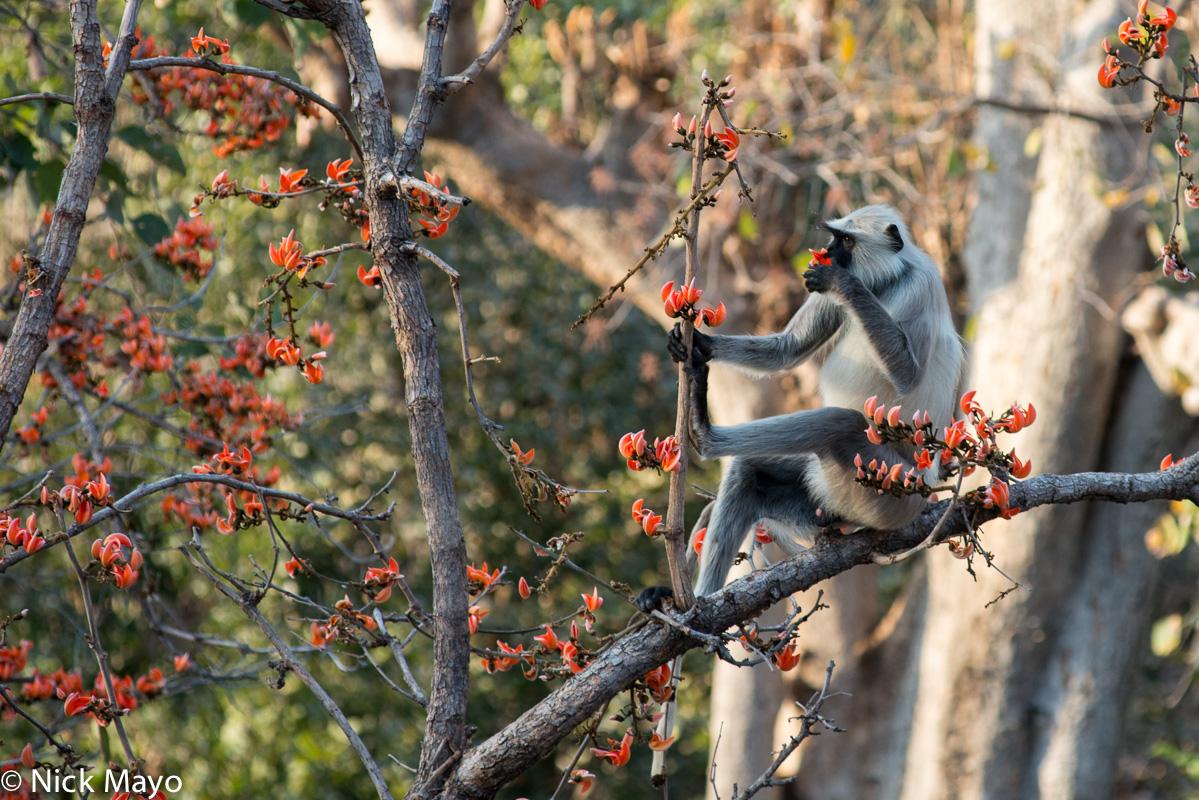 Gujarat,India,Monkey, photo