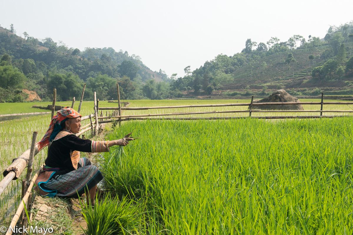 Head Scarf,Lao Cai,Miao,Paddy,Transplanting,Vietnam, photo