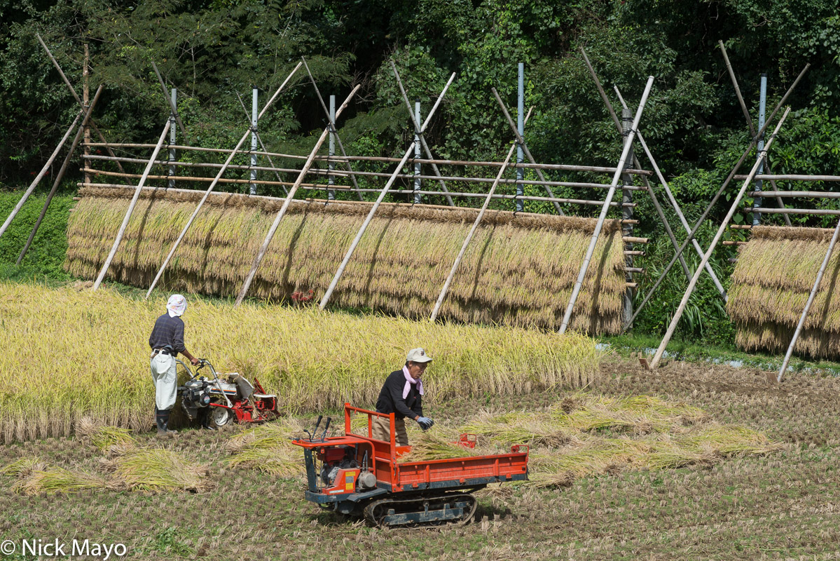Two farmers harvesting paddy rice to hang on drying racks on Dogo in the Oki Islands.