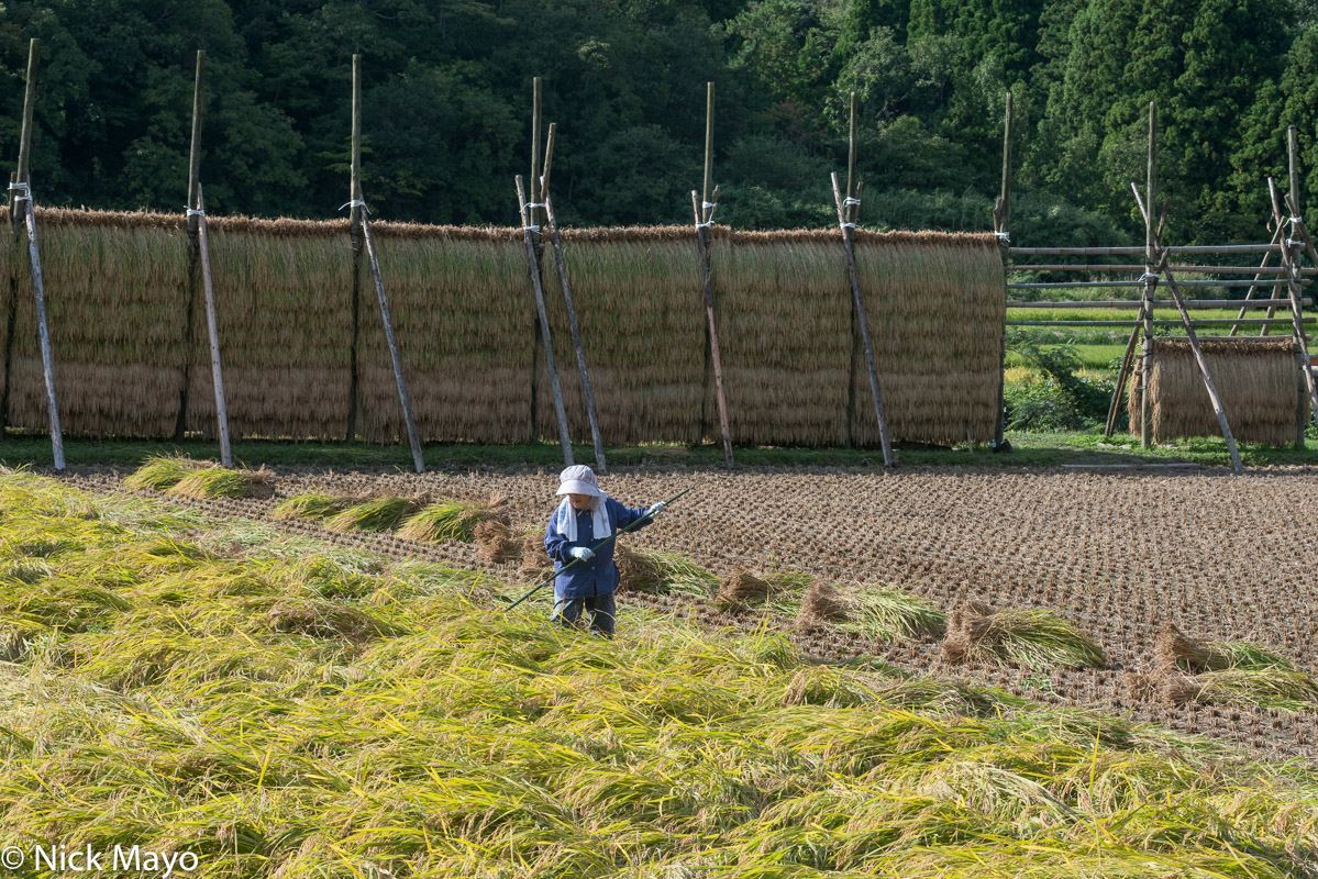 Raking the blown over rice in a paddy field on Dogo in the Oki Islands.