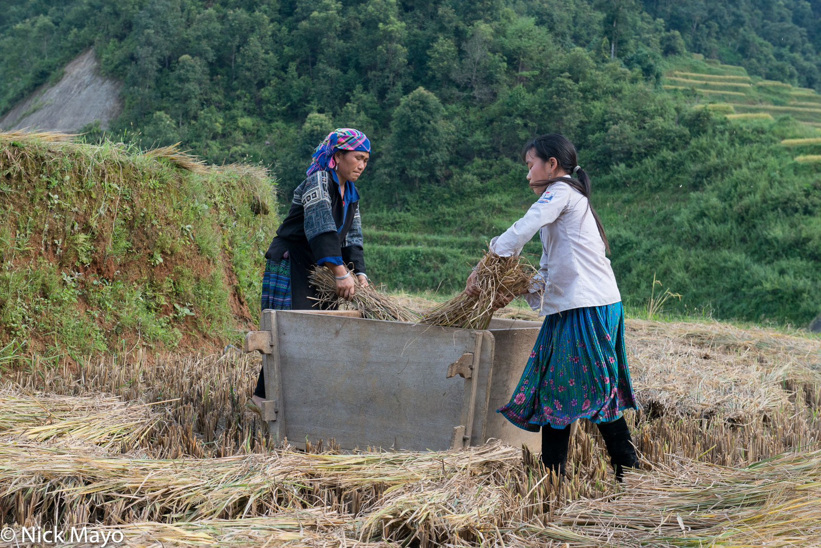 Two Blue Hmong women hand threshing paddy rice in the Mu Cang Chai valley.