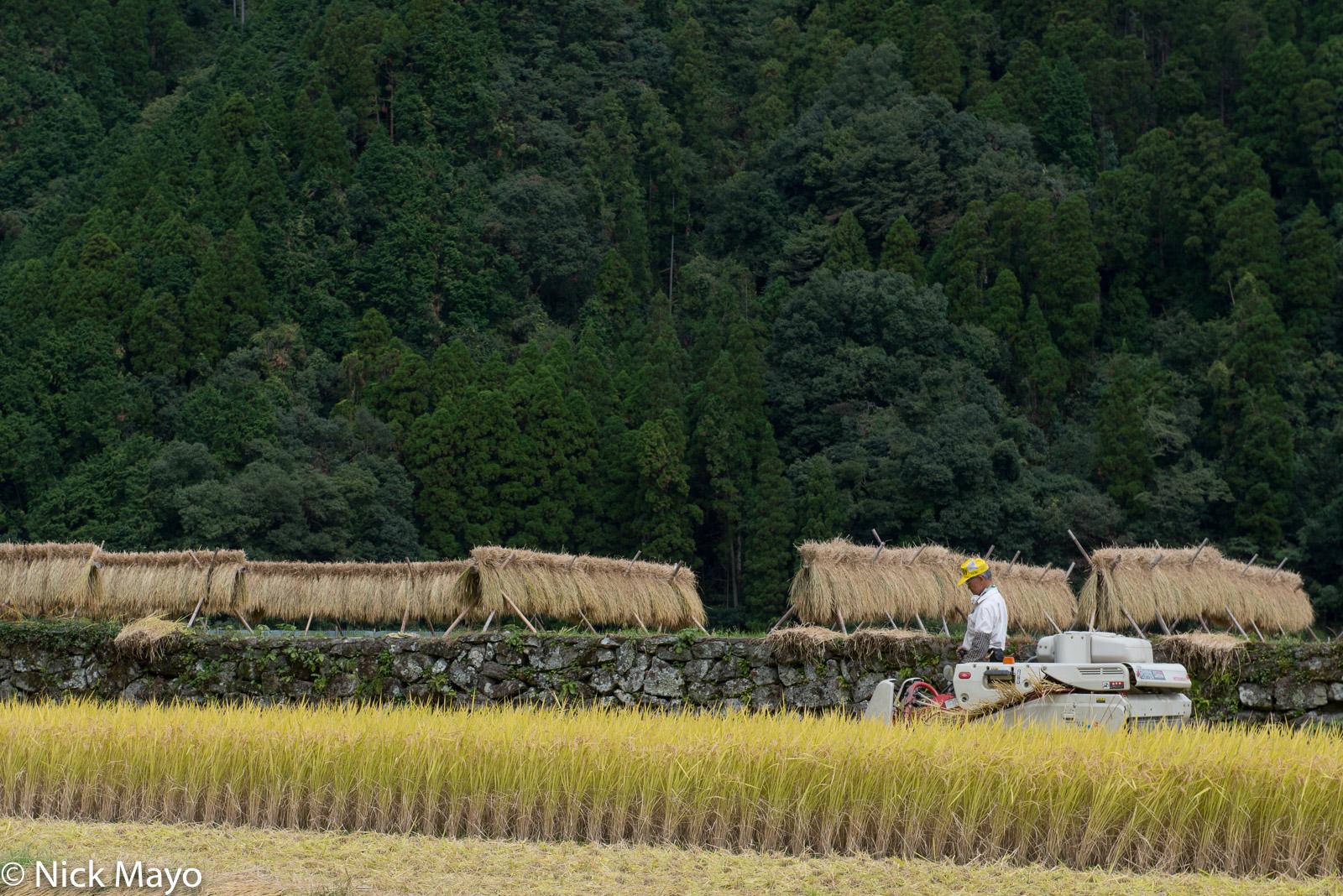 Farmer harvesting paddy rice adjacent to a field holding drying racks near Obuchi in Fukuoka prefecture.