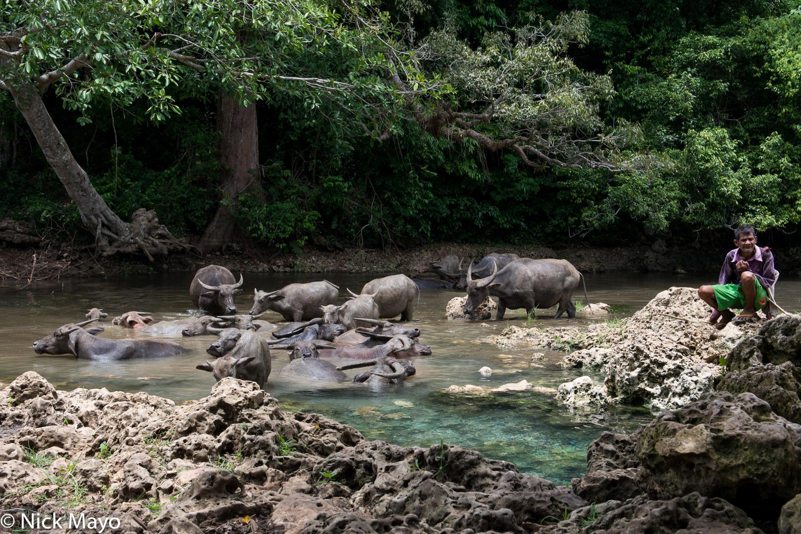 A herd of water buffalo cooling in a river in West Sumba Regency.