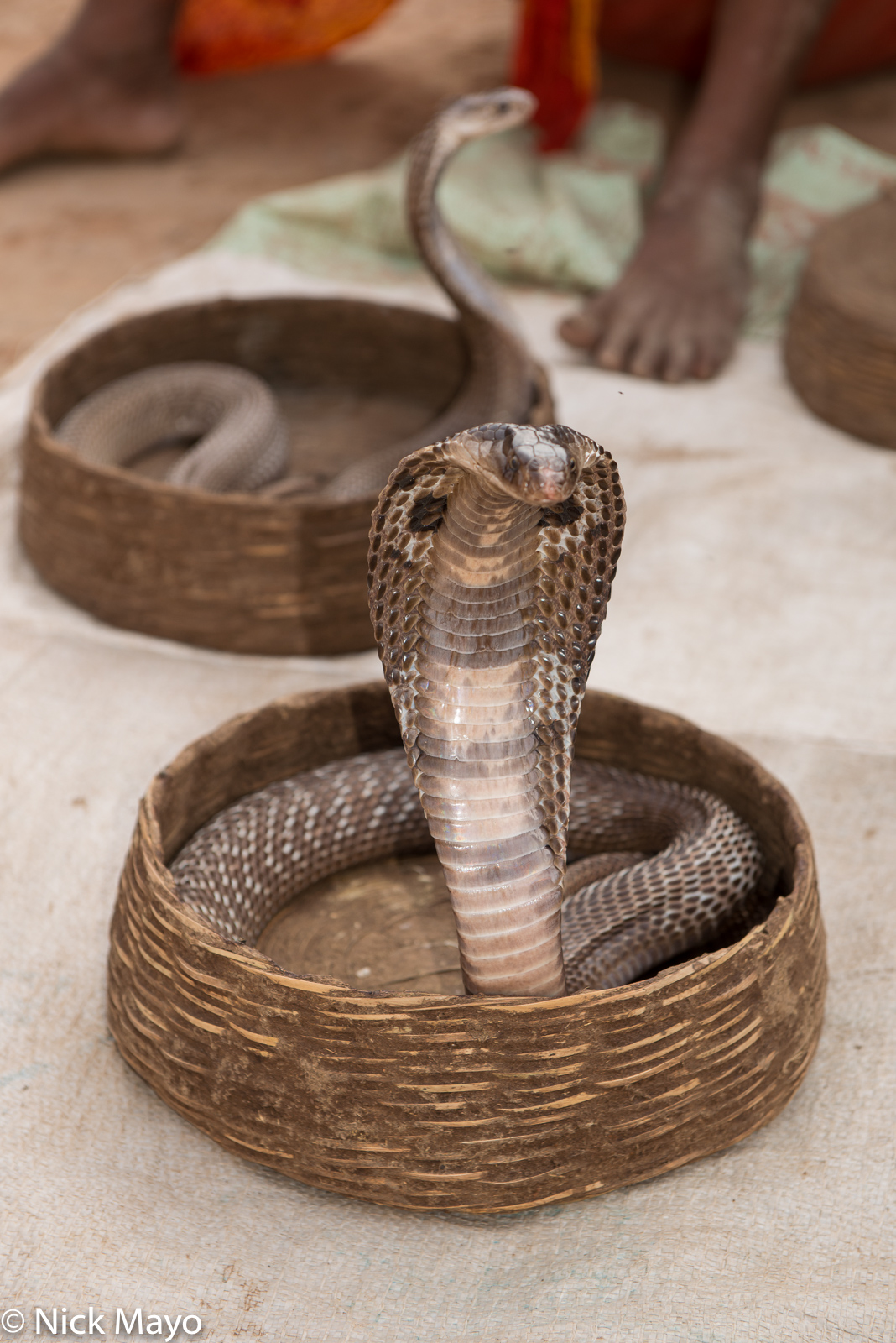 Chhattisgarh, Cobra, India, photo