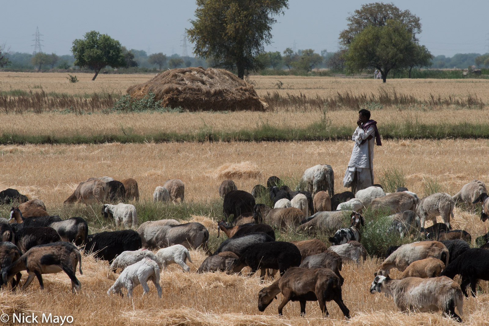 Gujarat, India, Rabari, Sheep, photo