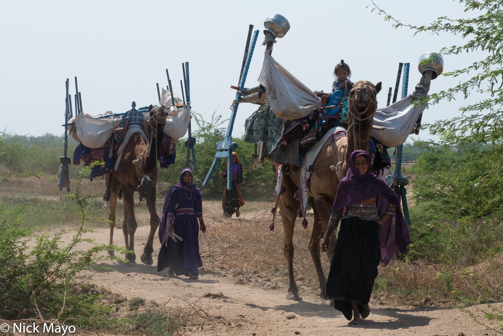 Camel,Gujarat, Head Scarf, India, Rabari, photo