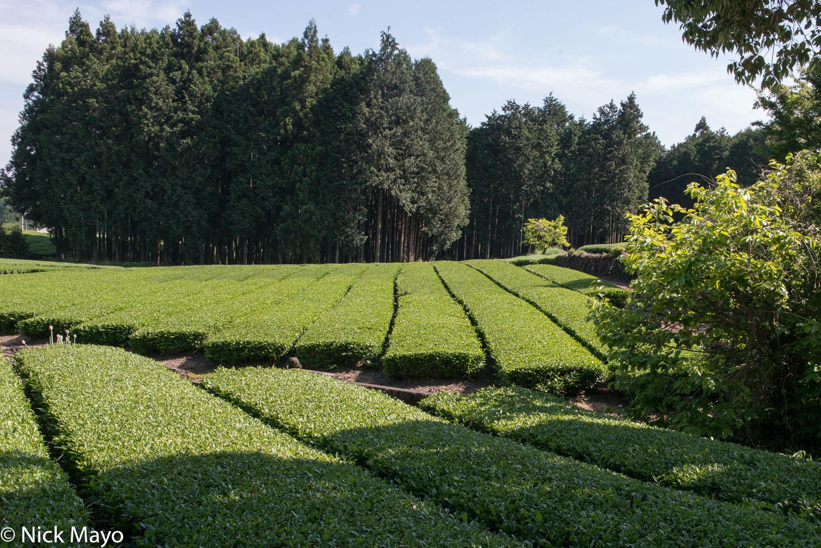 Japan, Kanto, Tea Field, photo
