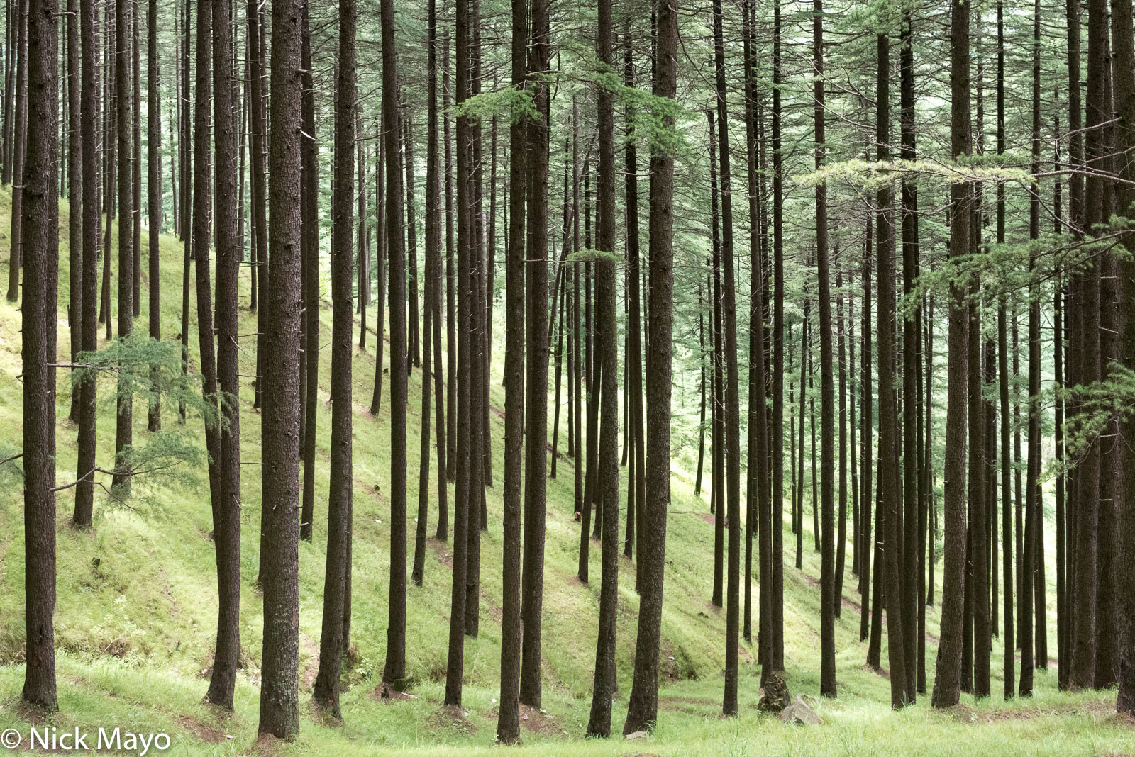 Lebanese cedar forest near the village of Nathan in the Kulu valley.