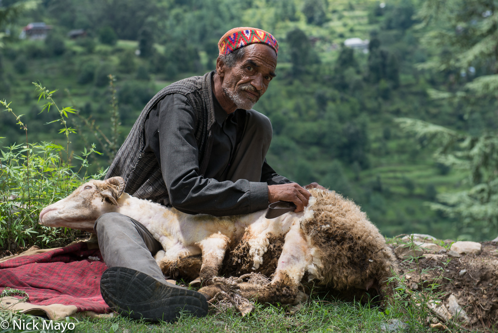 Hat, Himachal Pradesh, India, Shearing, Sheep, photo