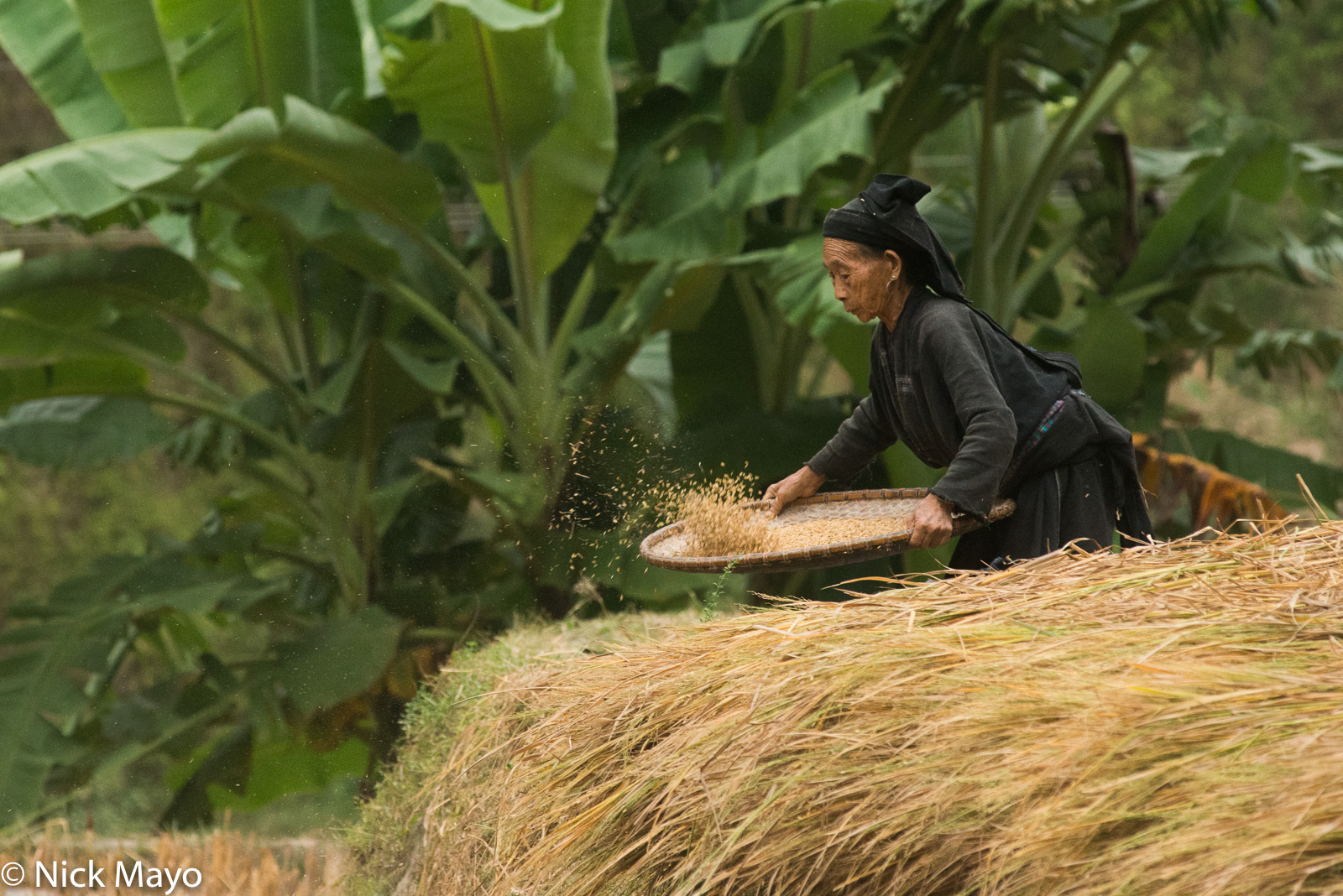 A La Chi woman wearing traditional clothes and head scarf winnowing paddy rice at Ban Phung.