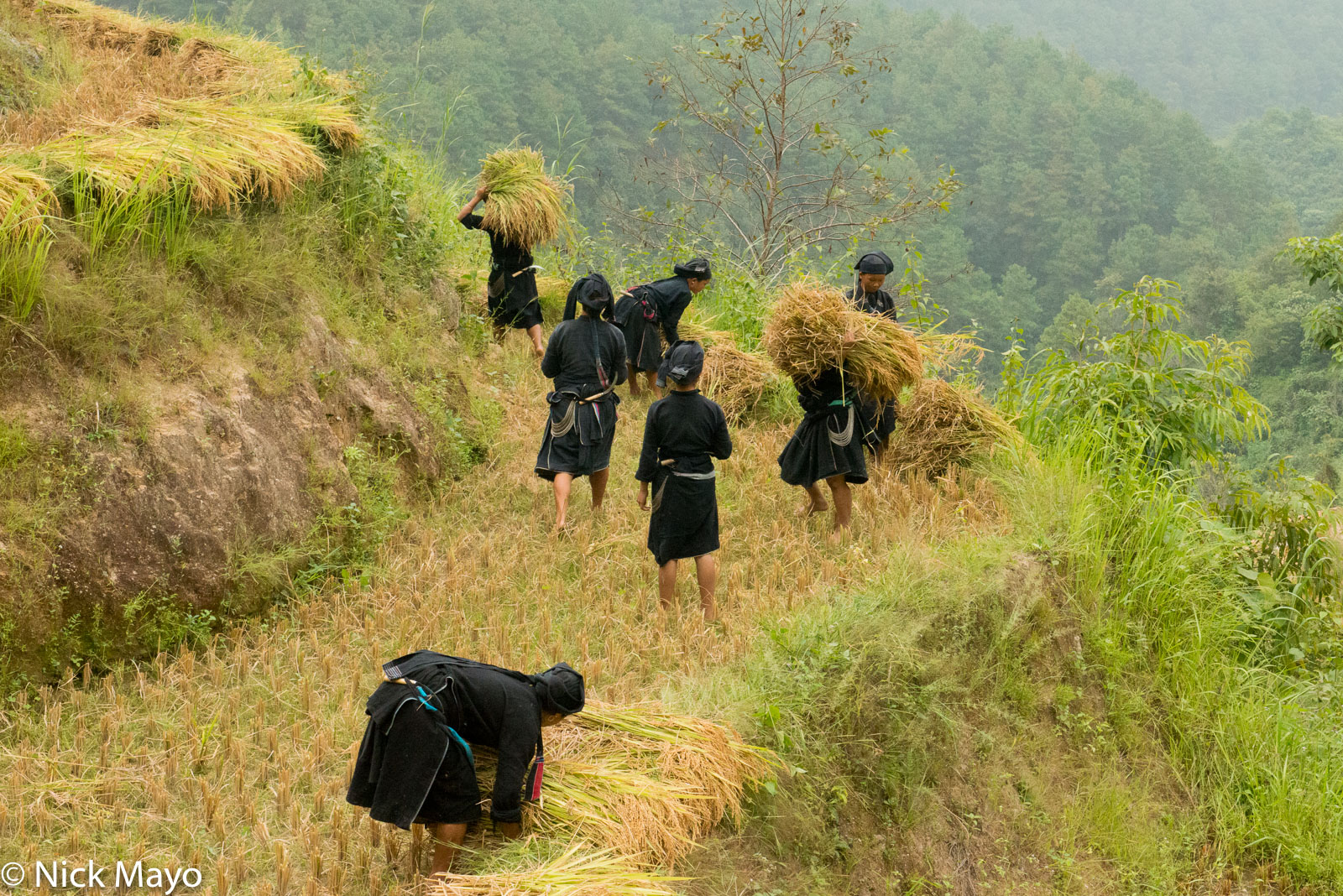 Ha Giang, Harvesting, La Chi, Paddy, Vietnam, photo