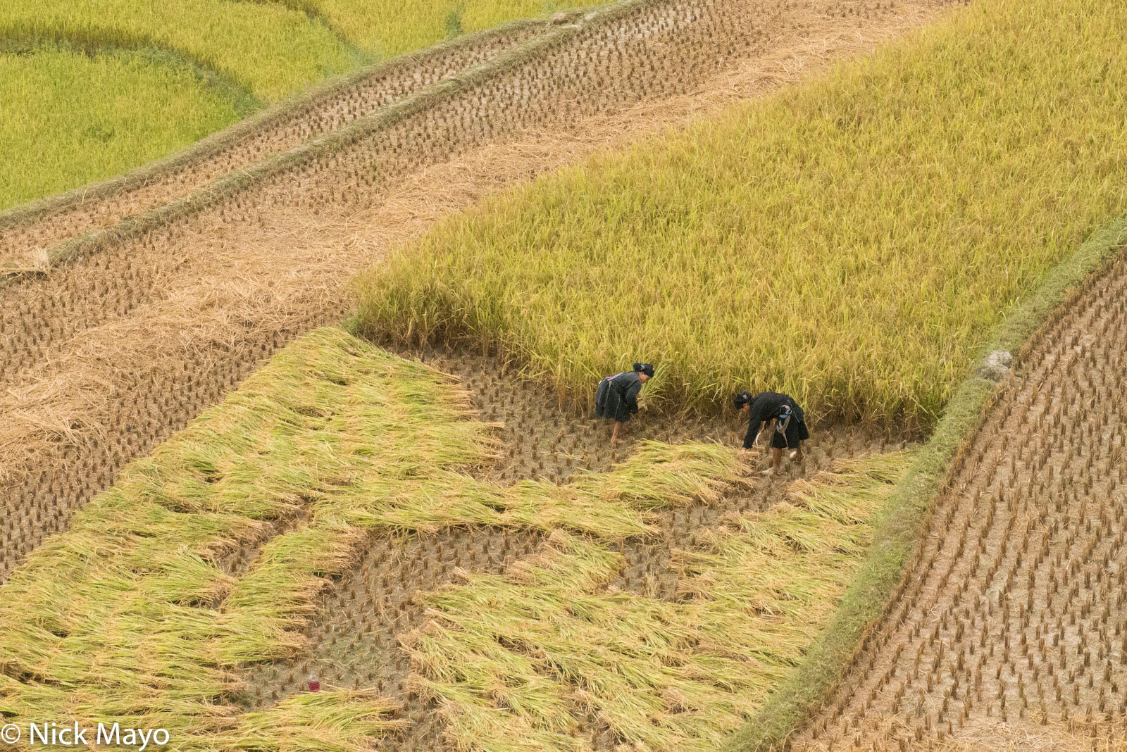 Ha Giang, Harvesting, Head Scarf, La Chi, Paddy, Vietnam, photo
