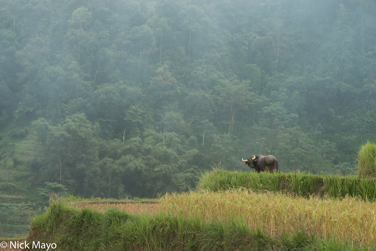 Ha Giang, Paddy, Vietnam, Water Buffalo, photo
