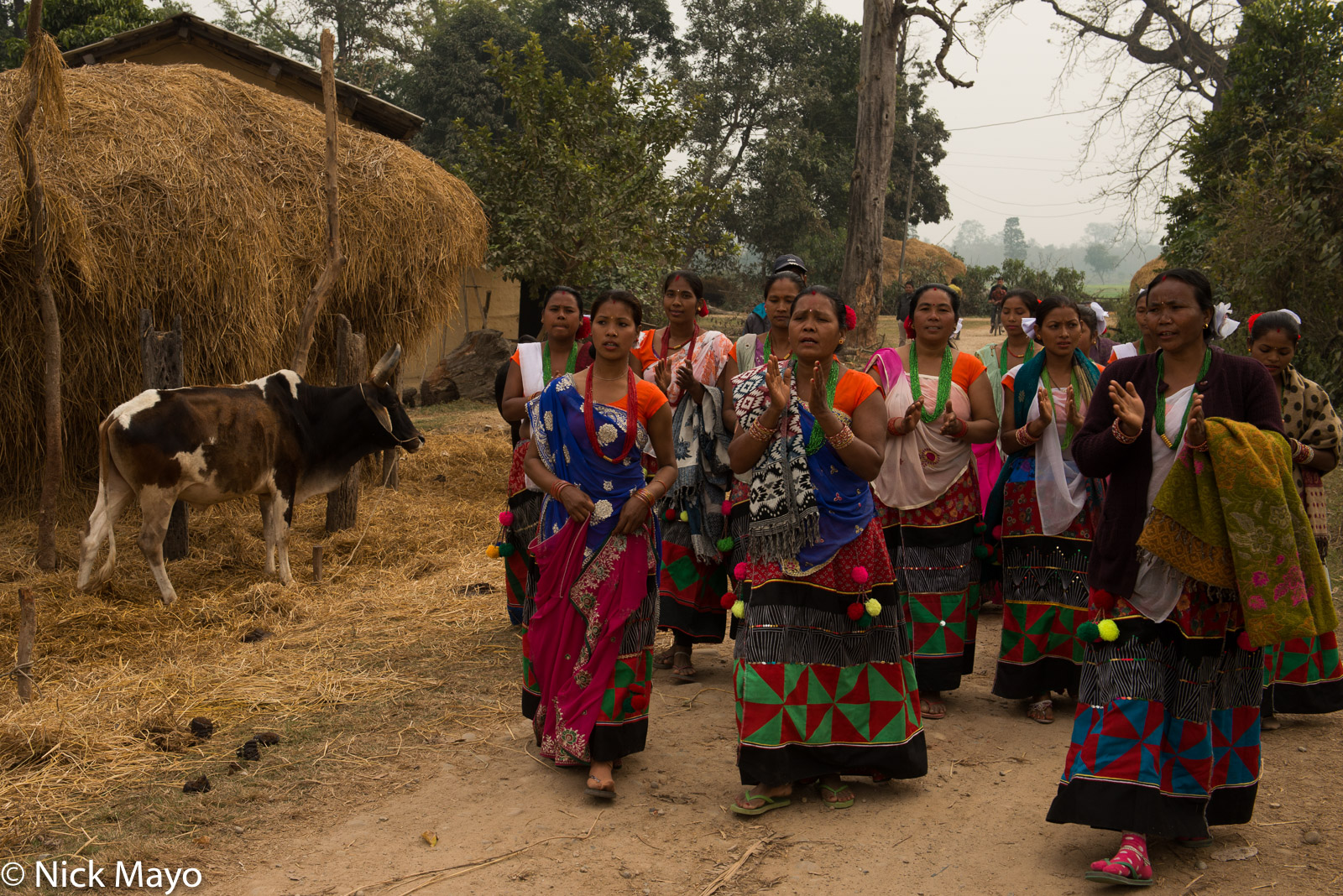 Cow, Nepal, Terai, Tharu, photo