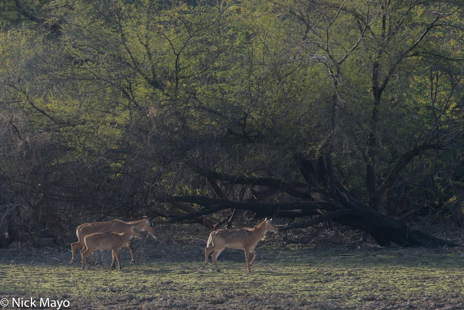 Deer, India, Rajasthan, photo