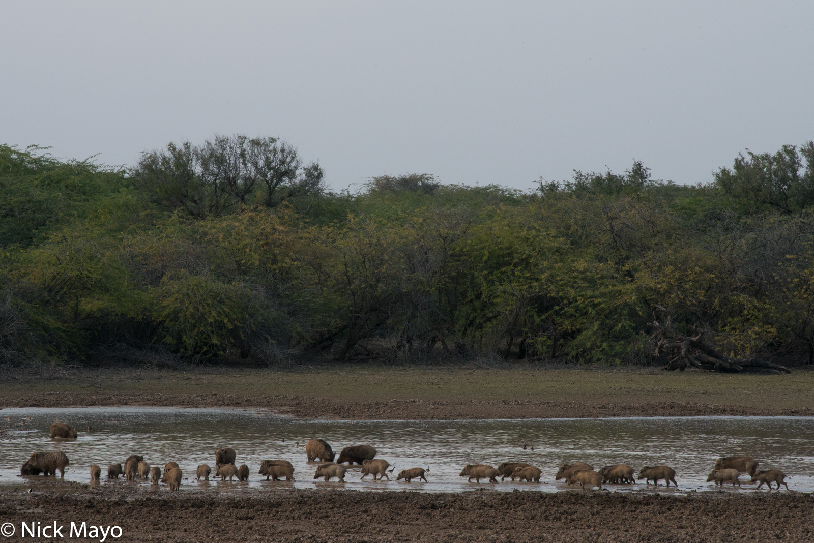 India, Rajasthan, Wild Boar, photo