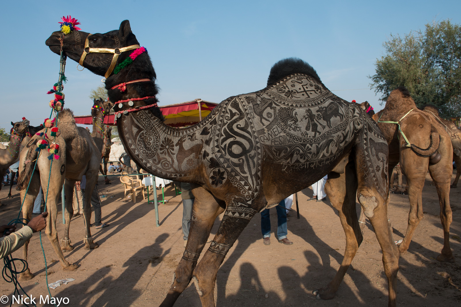 Camel, Festival, India, Rajasthan, photo
