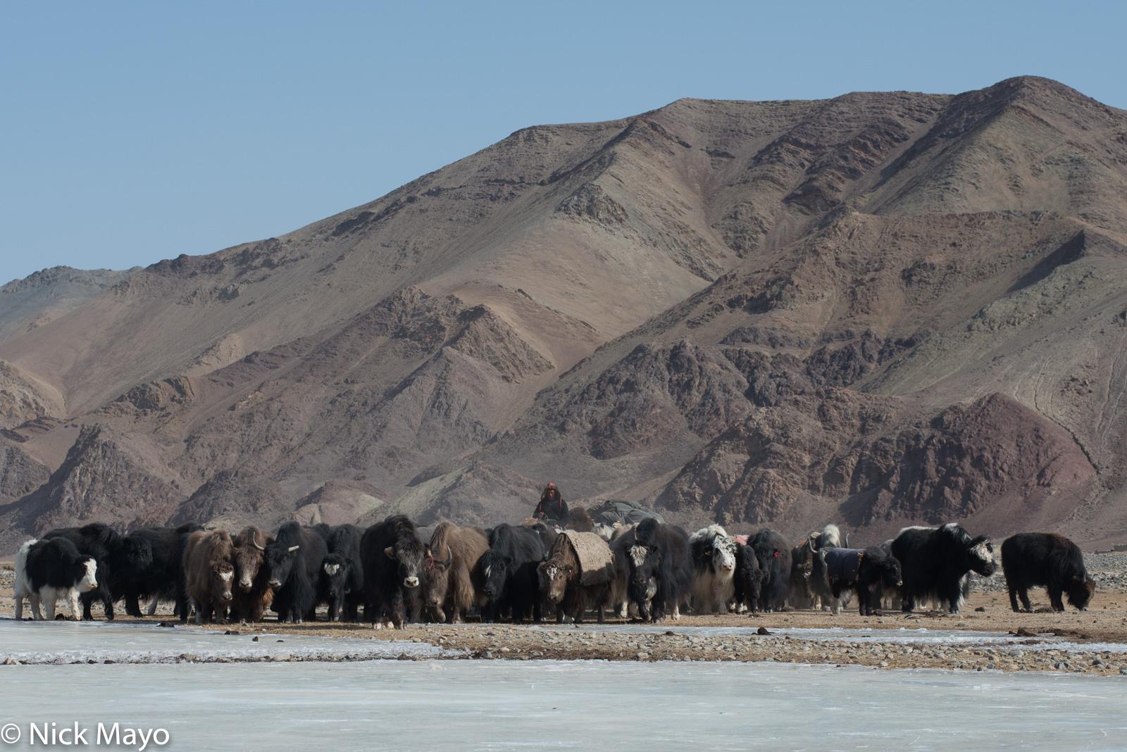 Bayan-Ölgii, Kazakh, Mongolia, Yak, photo