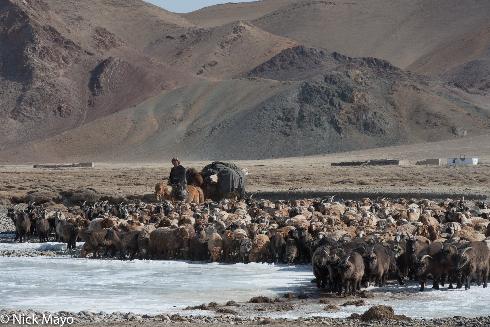 Bayan-Ölgii, Camel, Goat, Horse, Kazakh, Mongolia, Pack Animal, Sheep, photo