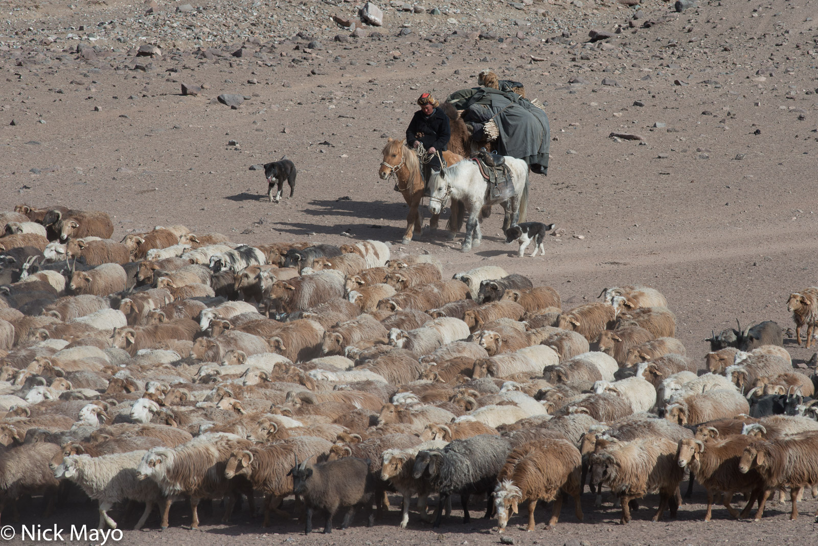Bayan-Ölgii, Camel, Dog, Goat, Herding, Horse, Kazakh, Mongolia, Pack Animal, Sheep, photo