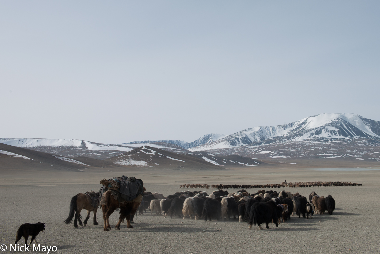 Bayan-Ölgii, Camel, Dog, Goat, Herding, Horse, Kazakh, Mongolia, Pack Animal, Sheep, Yak, photo